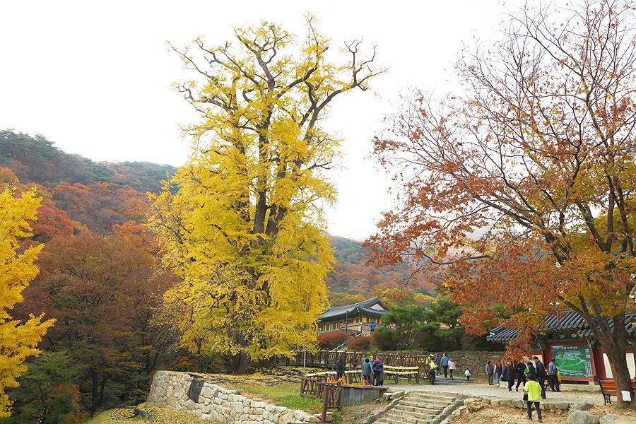 龍門寺與一棵最大的銀杏樹