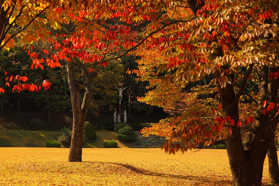 華城南陽聖母聖地裡種著有幾棵楓樹