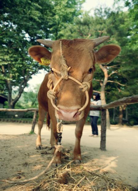 묶여있는 소의 모습