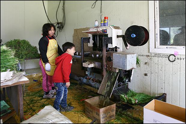 기계로 부추를 포장하는 모습