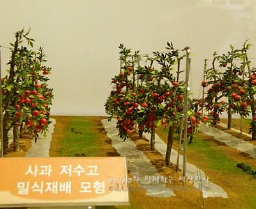 사과 저수고 밀식재배 모형