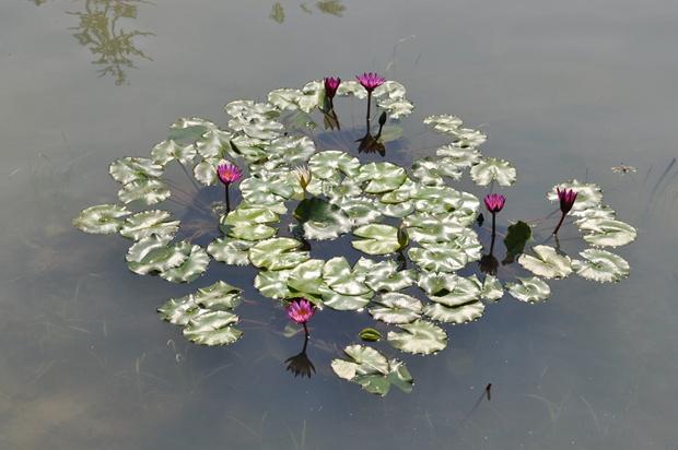 연꽃의 모습