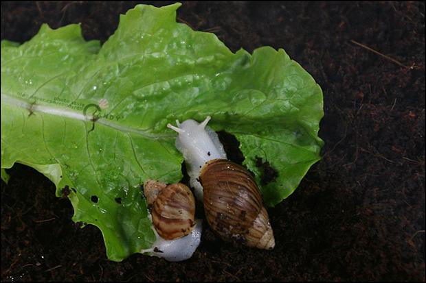 상추를 먹는 달팽이의 모습