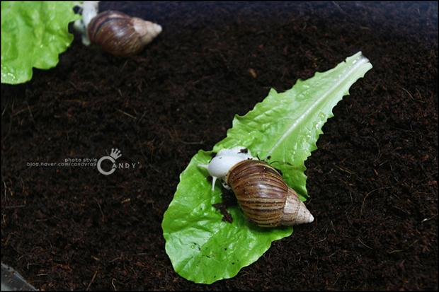 상추 위에 올라간 달팽이