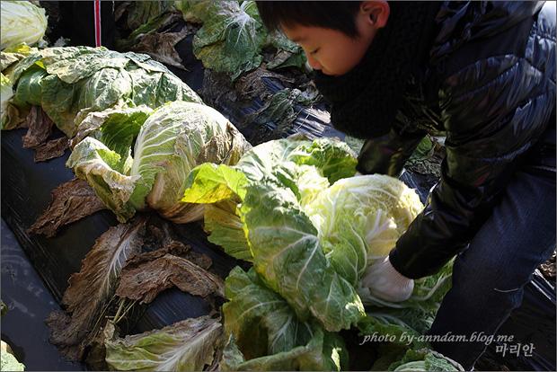 배추를 수확하는 모습