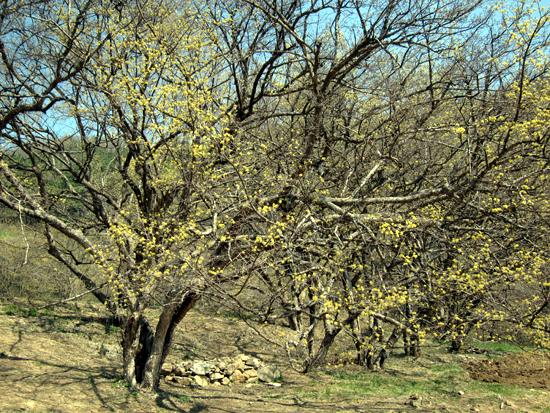 노란 꽃나무