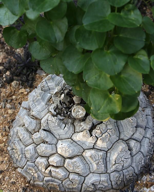 거북이 등껍질 같이 생긴 덩기줄기를 가진 구갑룡
