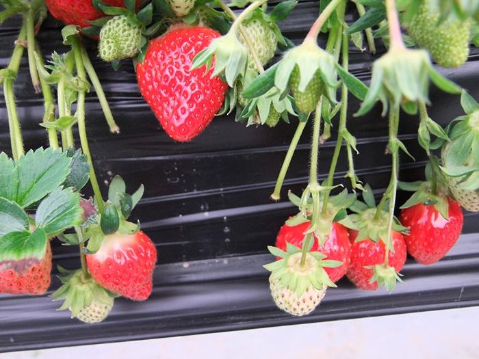빨간 잘 익은 딸기와 아직 덜 익은 초록빛깔의 딸기
