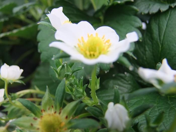 노란 꽃술과 하얀 꽃잎을 가진 딸기꽃