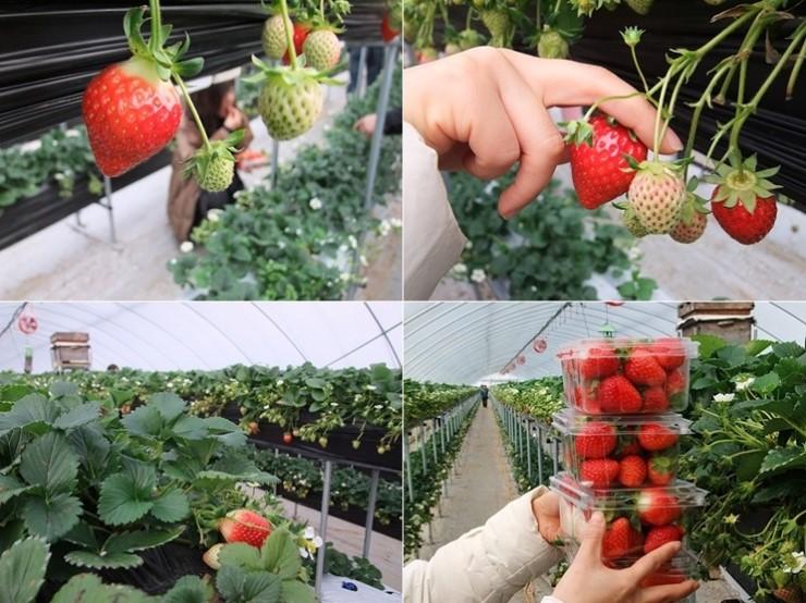 딸기의 모습, 잘익은 딸기를 따는 모습, 딸기를 키우는 온실의 모습, 팩에 담긴 딸기