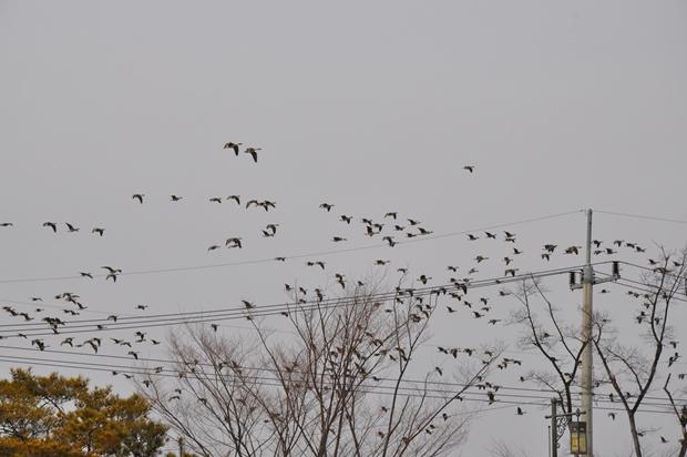 전선과 하늘을 나는 겨울철새의 모습