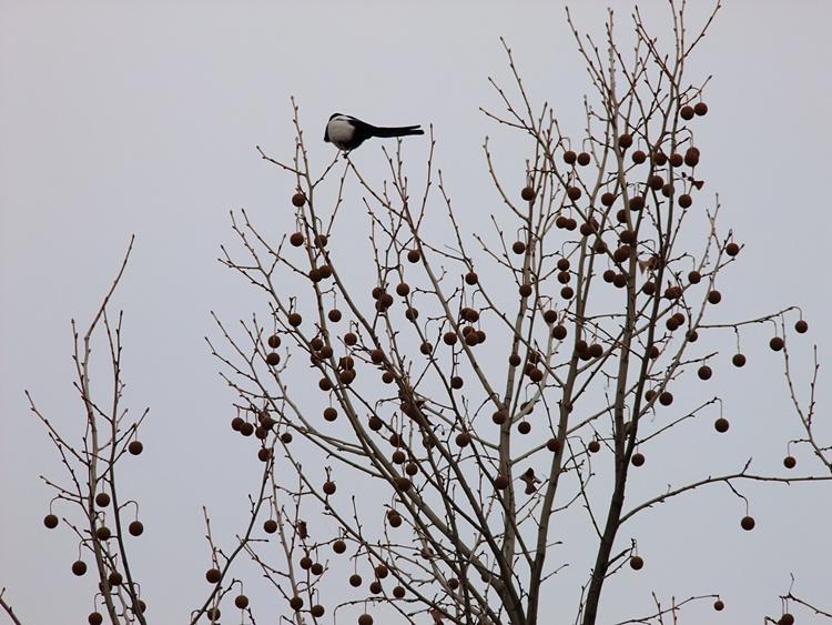 나무 위에 앉아있는 까치