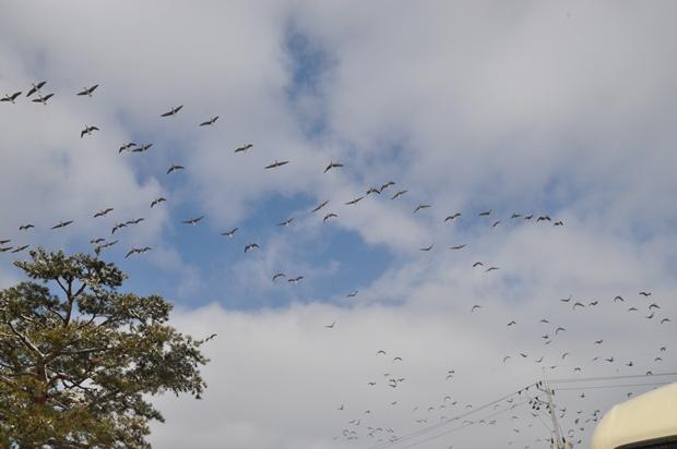 하늘 위로 날아가는 개리떼