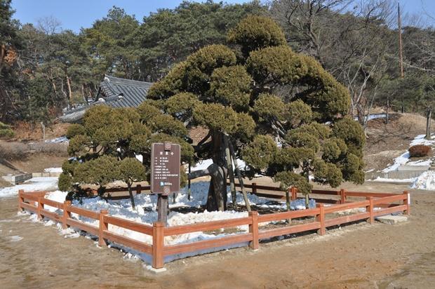 수령 600년 향나무 고목