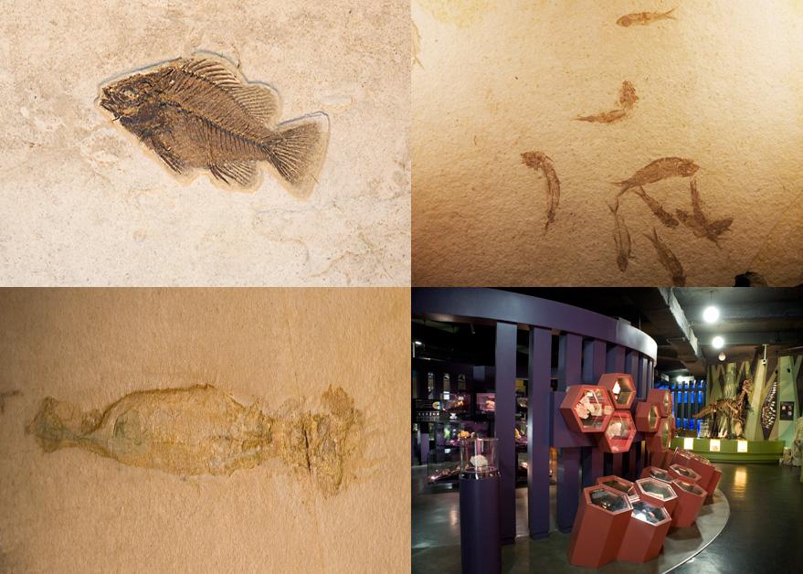 뼈가 그대로 드러난 물고기 화석, 작은 물고기 떼의 화석, 박물관 내부의 모습, 화석의 모습