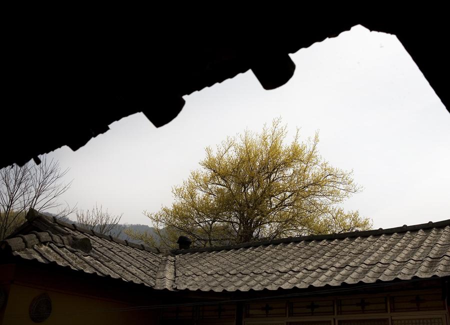 지붕 위로 보이는 산수유 나무