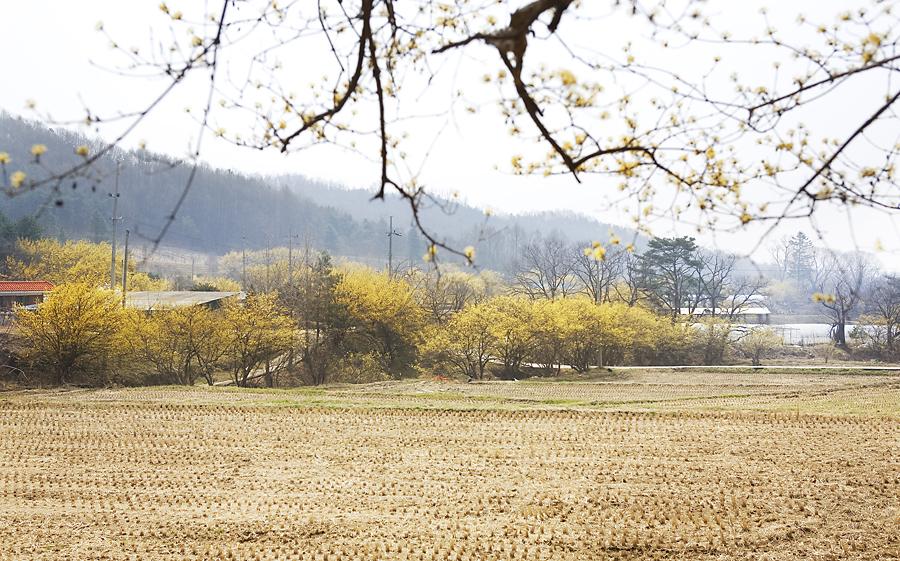 산수유나무