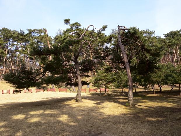 여러 모양의 소나무들