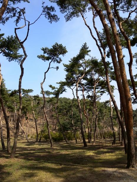 아래서 본 소나무 숲