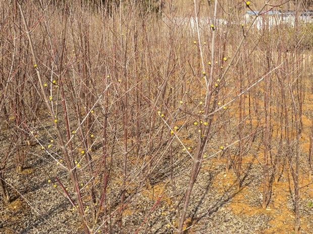 봉우리가 맺힌 나무