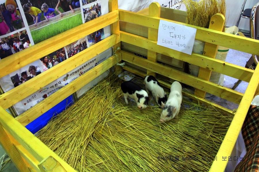 전시장 내 우리에 있는 미니 돼지들의 모습