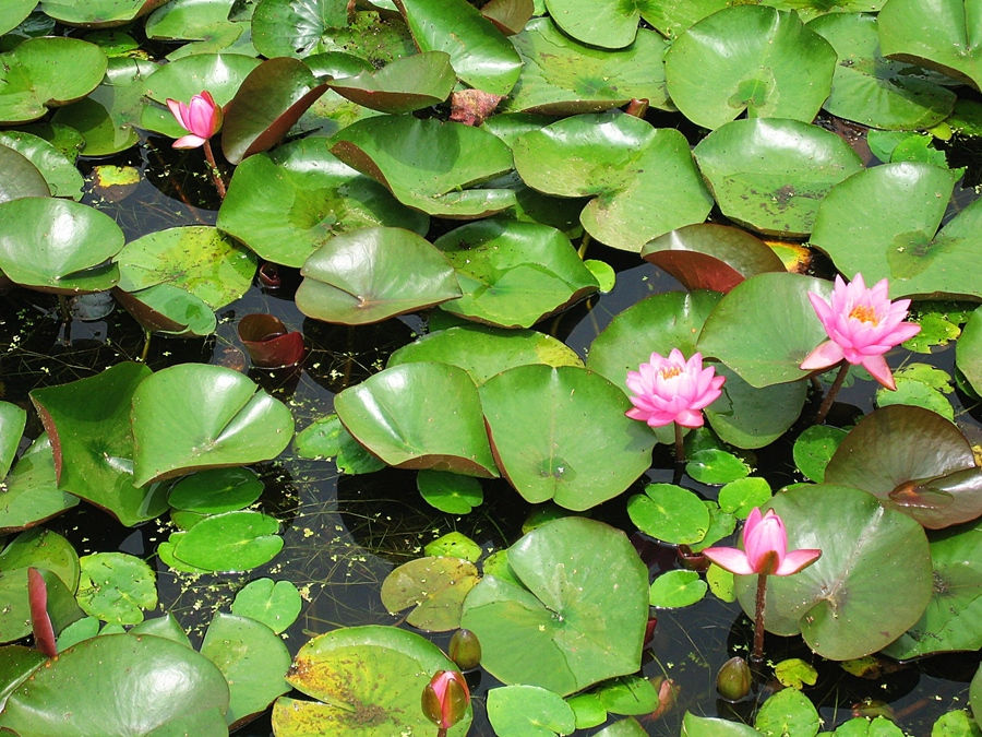 물 위에 연잎과 연꽃들
