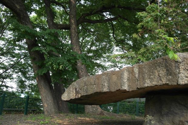 고인돌 주위에 심어져 있는 높은 나무들의 모습