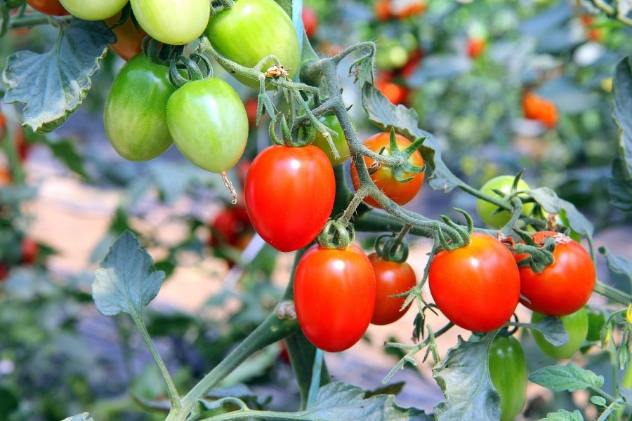 덜익은 푸른 방울 토마토와 빨갛게 익은 방울 토마토의 모습