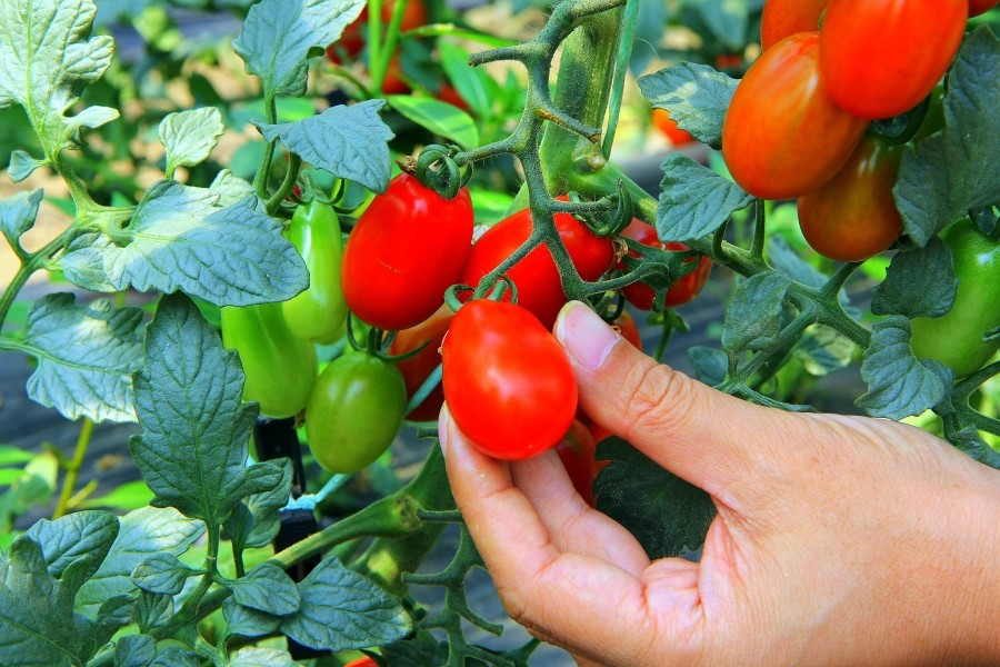 타원형 모양의 대추 방울 토마토의 모습