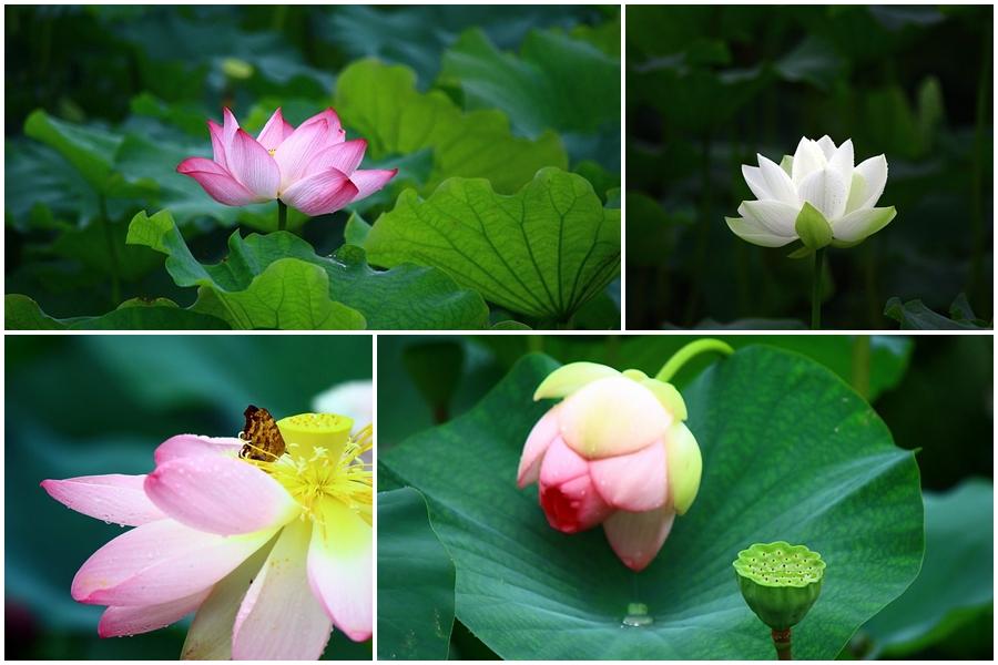 분홍색 연꽃 / 하얀 연꽃 / 나비가 앉은 연꽃 / 연잎과 연꽃