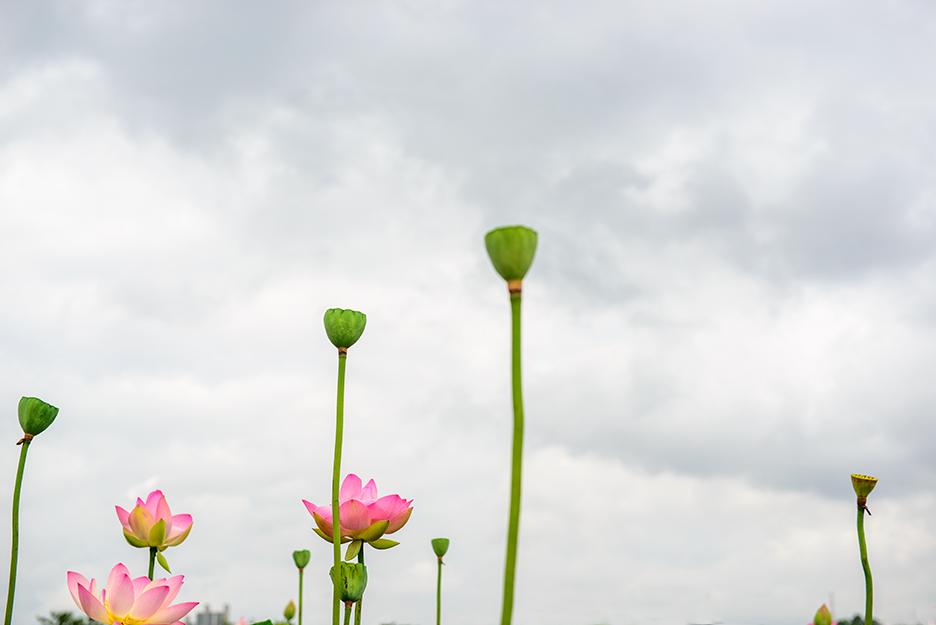 하늘 높이 솟은 연꽃들