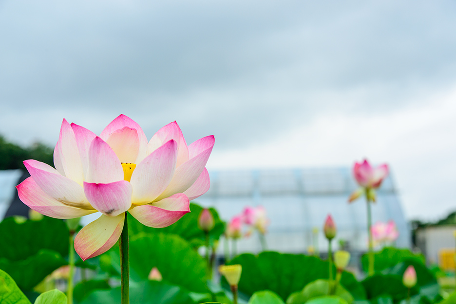 만개한 연꽃과 연꽃밭