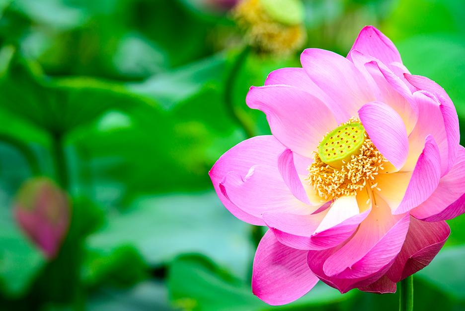 피고있는 분홍 연꽃