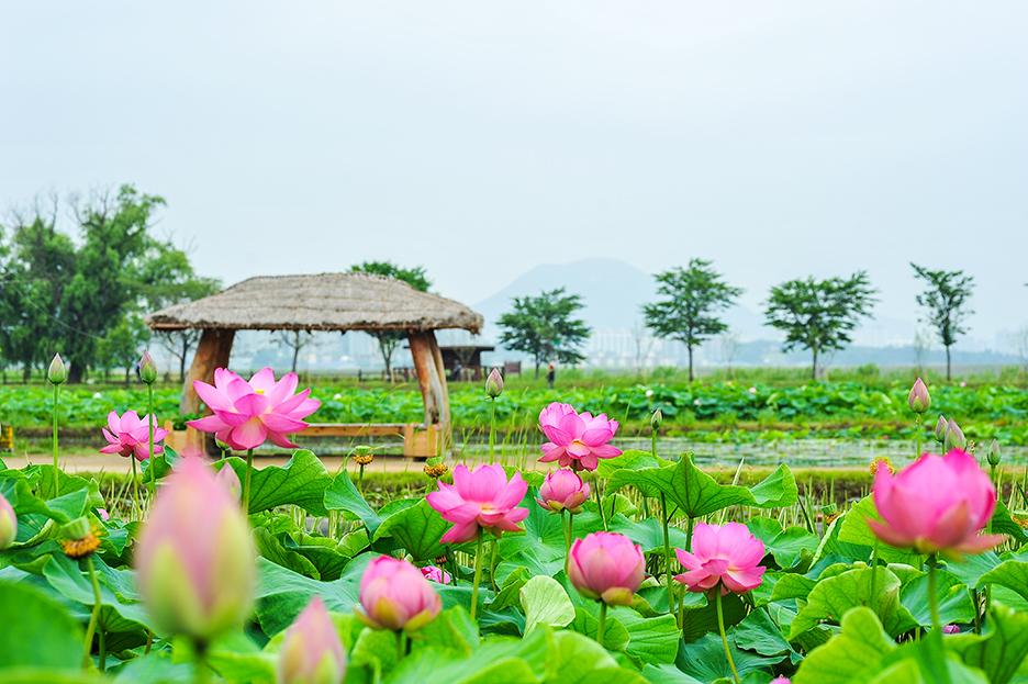 연꽃밭과 원두막