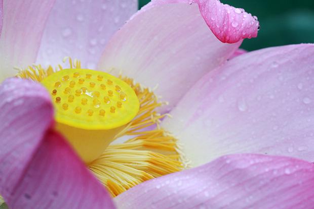 연꽃 안에 노란 연꽃수술