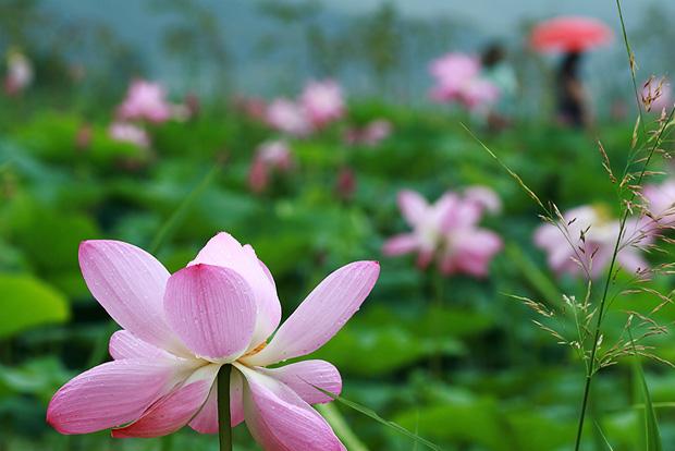 물방울이 맺힌 연꽃