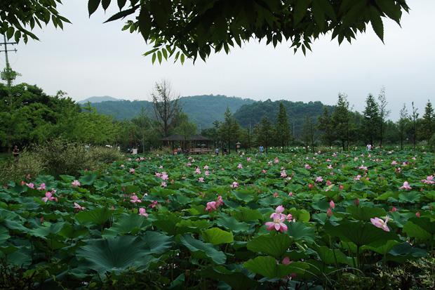 넓게 펼쳐진 연꽃밭