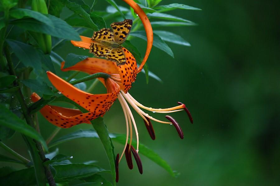 참나리와 화려한 색상의 나비