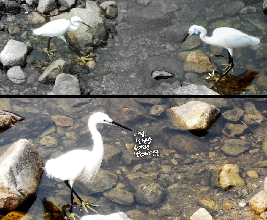 물고기를 잡고있는 쇠백로의 모습