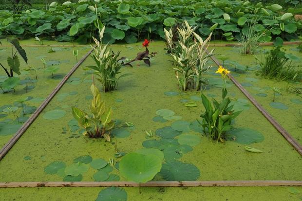연못에 피어 있는 칸나의 모습