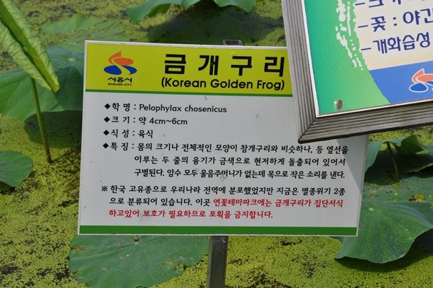 금개구리에 대한 표지판의 모습, 금개구리(Korean Golden Frog) 학명 : Pelophylax chosenicus, 크기 : 약 4cm~6cm, 식성 : 육식, 특징 : 몸의 크기나 전체적인 모양이 참개구리와 비슷하나, 등 옆선을 이루는 두 줄의 융기가 금색으로 현저하게 돌출되어 있어서 구별된다. 암수 모두 울음주머니가 없느 ㄴ목으로 작은 소리를 낸다, 한국 고유종으로 우리나라 전역에 분포했었지만 지금은 멸종위기 2종으로 분류되어 있습니다. 이곳 연꽃테마파크에는 금개구리 집단서식하고 있어 보호가 필요하므로 포획을 금지합니다