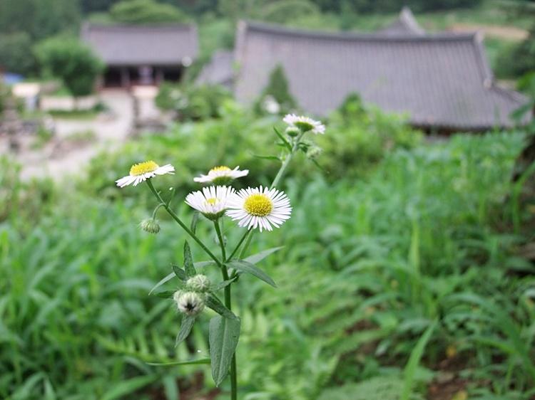 석남사에 피어 있는 하얀 꽃의 모습