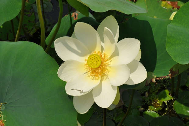 하얀 연꽃의 모습
