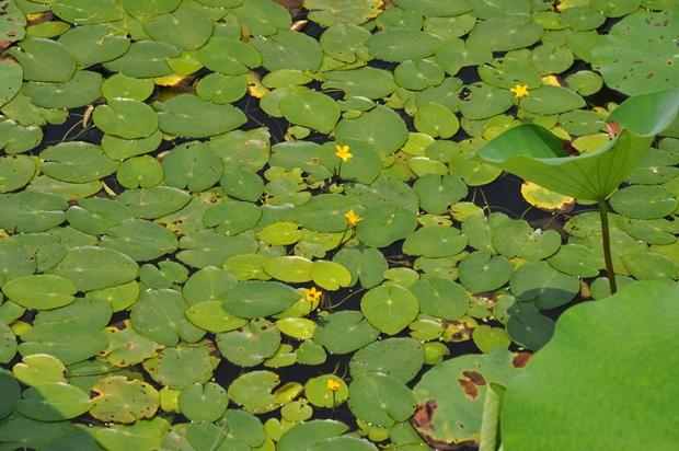 연 잎과 그 틈사이로 피어 있는 노랑어리연의 모습