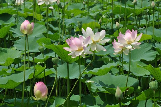 연분홍과 하얀 색 연꽃의 모습