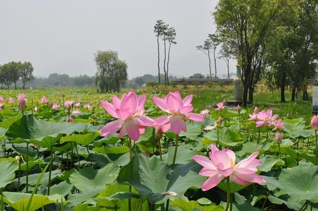 연못에 피어 있는 연분홍 연꽃의 모습