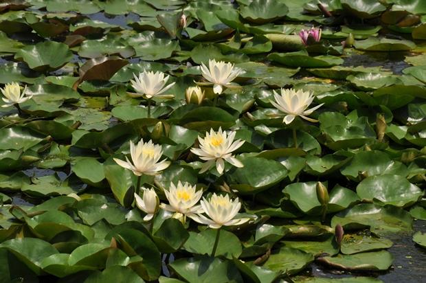 수많은 연잎들 사이로 나있는 연꽃의 모습