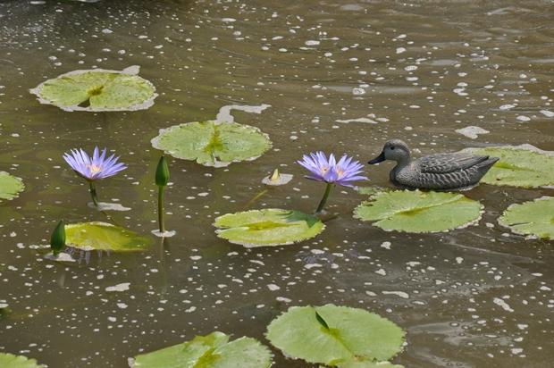 연못에 떠 있는 오리 인형