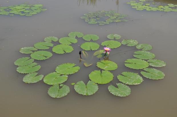 연못에 피어 있는 열대 수련의 모습