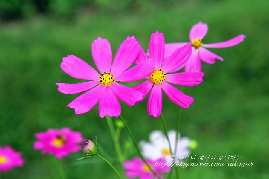 분홍색 코스모스